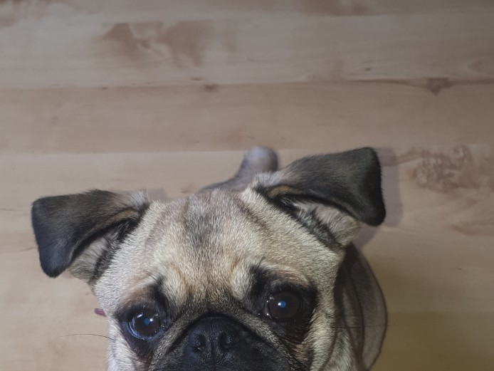 7 month old pug for sale