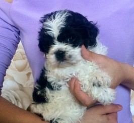 Beautiful Shih-Poo Pups FOR SALE