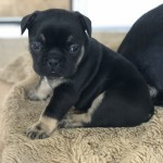 black and tan french bulldog boy for sale