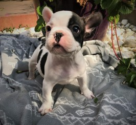 Litter of 6 French Bulldog puppies for sale