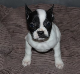 5 Adorable French Bulldog Puppies Available Now