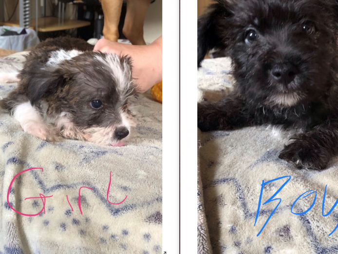 Shorkie x jack russell border terrier puppies