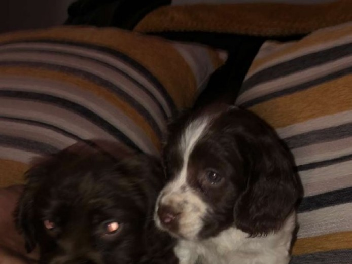 Stunning Cocker Spaniel Puppies