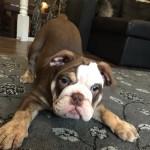 KC Chocolate English Bulldog Puppy