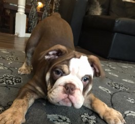 Pets  - KC Chocolate English Bulldog Puppy