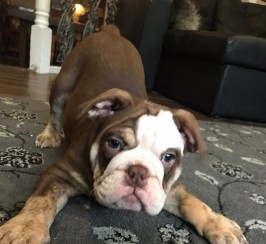 KC Chocolate English Bulldog Puppy
