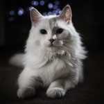 Last two Turkish angora kittens for sale from litter of 8