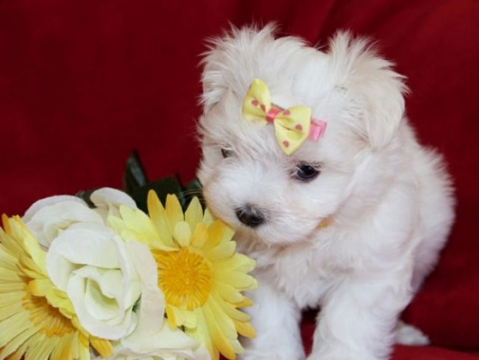Beautiful Kc Reg Maltese Puppies