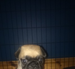 Female pug for sale