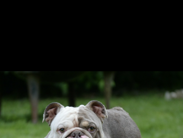 Rare colour kc English Bulldog pups, lilac and chocolate tri