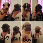 Staffordshire bull terrier x sharpei pups