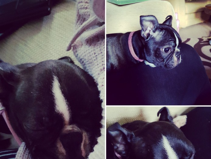 Shy, kc reg pup for sale