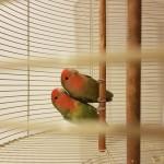 Peach Faced love birds