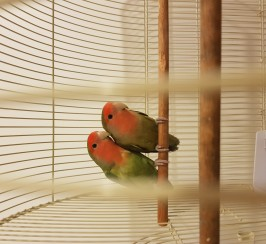 Peach Faced love birds