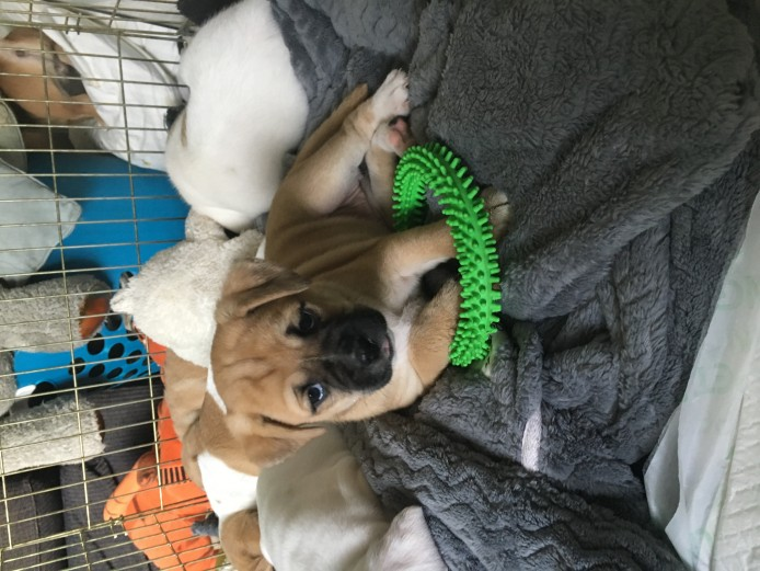 BEAUTIFUL BULLDOG X PUGGLE PUPPIES