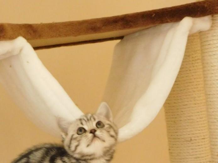 Silver Tabby British short Hair Kittens