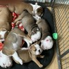 Pets for Sale - Bulldog pups ready to go to their forever homes