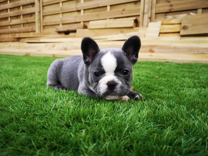 6 gorgeous French bulldog puppies puppies