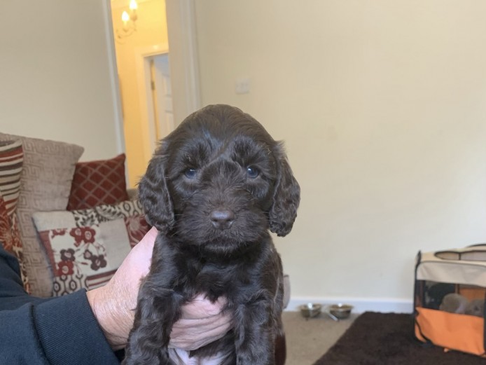 Stunning litter of cockapoo