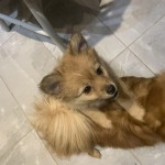 Pomeranian cross German Spitz - girl