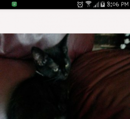 11 week old male kitten for sale