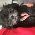 KC black full injection vet clear shih tzu