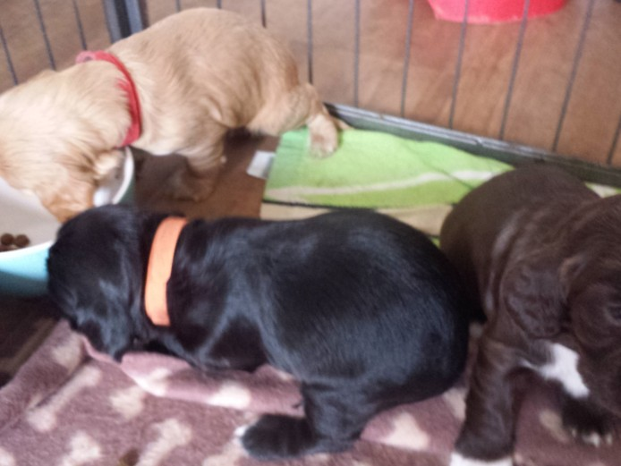 Gorgeous Cocker Spaniel Puppies. Ready 7th October.