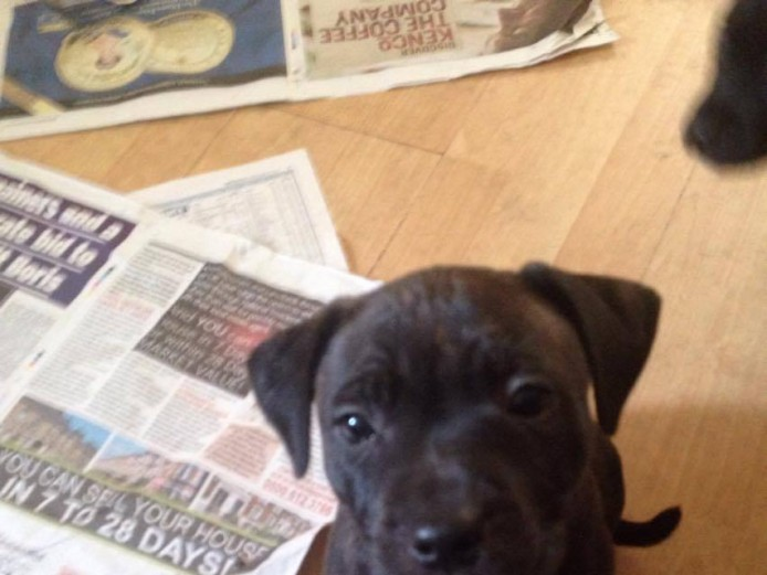 Gorgeous Staffy Puppies for sale