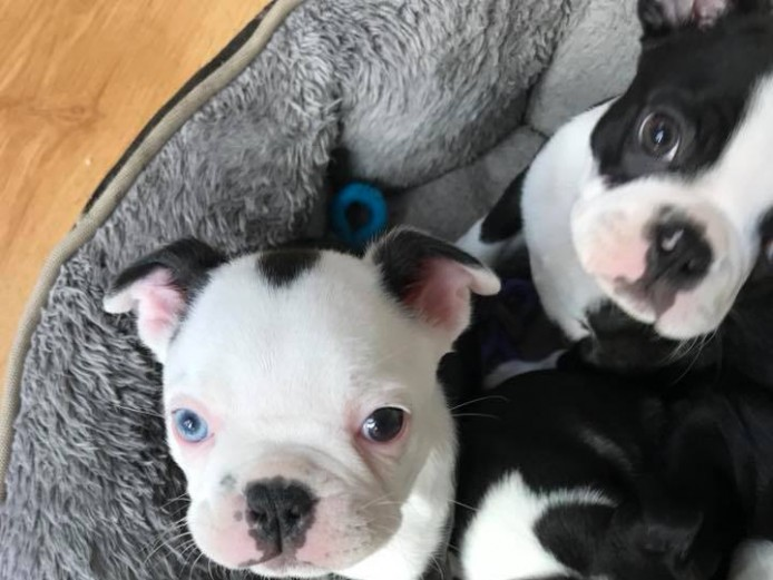 Beautiful black and white Boston Terrier, DNA clear, microchipped and vaccinated.