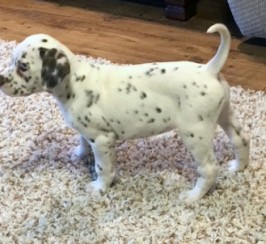 Kc Reg Baer Hearing Tested Dalmatian Puppies