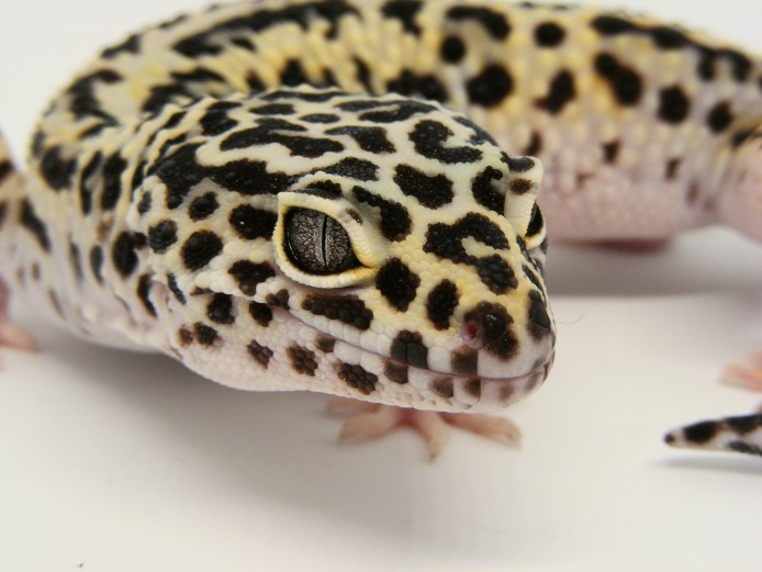 Male Jungle Mack Snow Het Radar Leopard Gecko #2