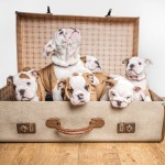 10 gorgeous British bulldogs dad GOLD health tested