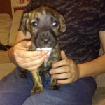 2 male staff cross terrier puppies