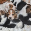 Pets  - Basset Hound Puppies for sale