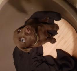 Chunky chocolate labrador puppies