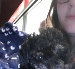 Pets  - TOY POODLE FOR SALE