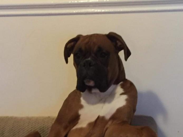 Boxer stud