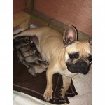 FRENCH BULLDOG PUPPIES REDUCED PRICE