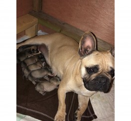 Pets  - FRENCH BULLDOG PUPPIES REDUCED PRICE