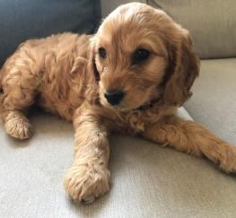 Pets  - Beautiful cockapoo puppies