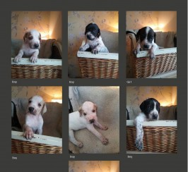 KC Registered English Pointer Puppies