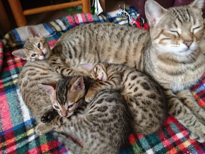 STUNNING FULL PEDIGREE BENGAL KITTENS
