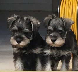 Kc registered minature schnauzers