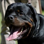 World Champion Bloodline Rottweilers For Stud