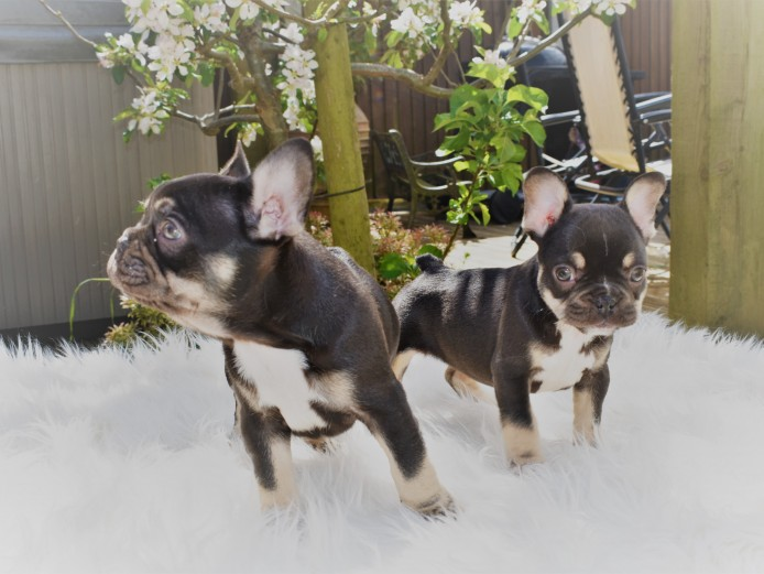 CHOCOLATE AND TAN FRENCH BULLDOG PUPPIES READY NOW