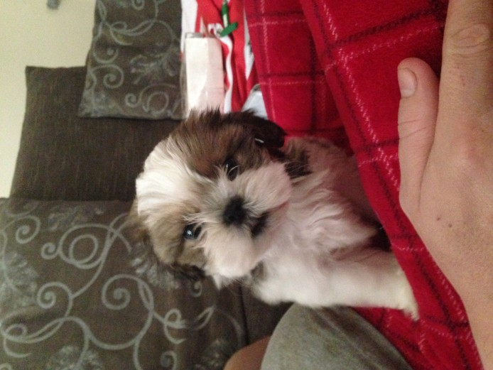 9 week old shih tzu puppy