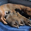 Pets  - Healthy Red smooth miniature dachshund boys. 2 available. Norwich