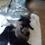 Pug puppies fully kc reg, we have