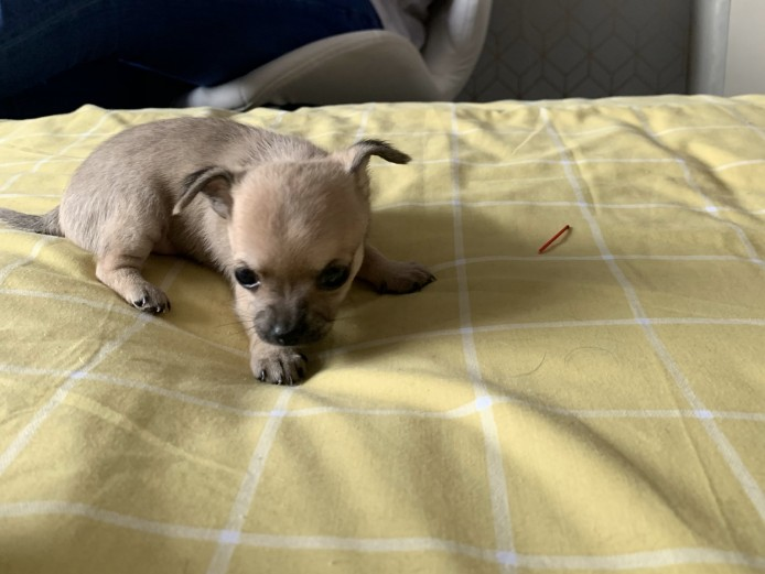 3 Miniature Chihuahuas for sale