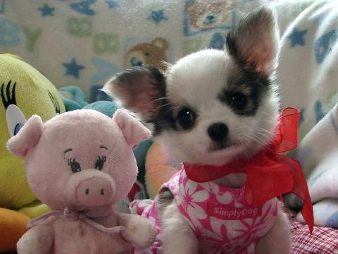 Chihuahua Puppy Ready for their new home